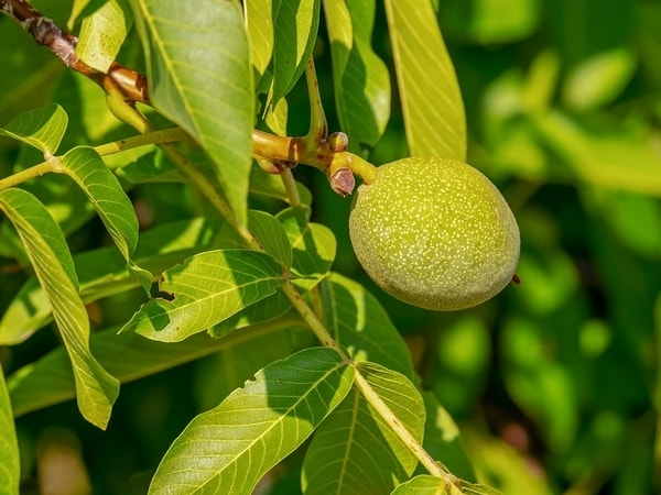 what to see in richmond coaldale walnuts